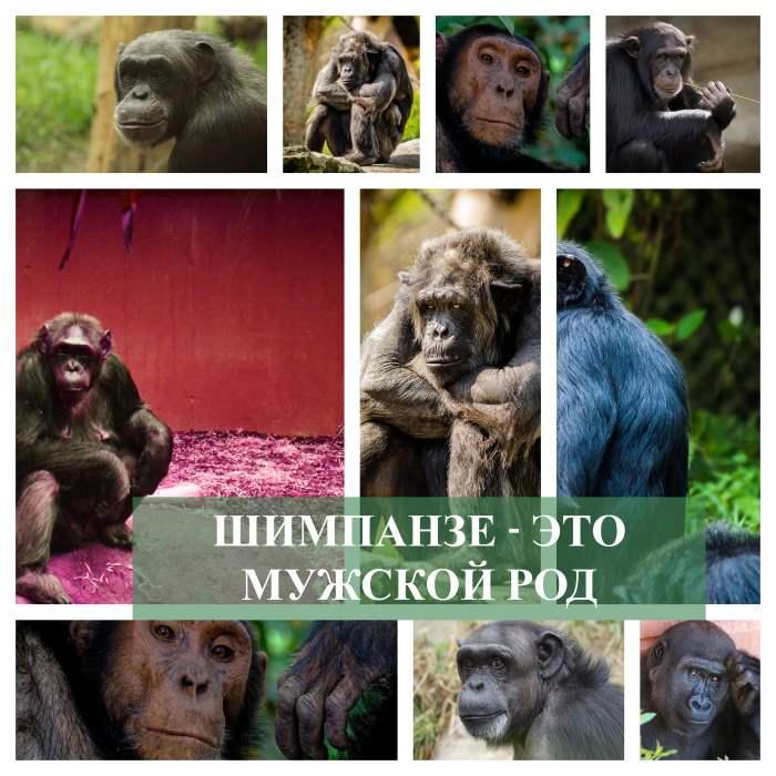Род существительного шимпанзе мужской