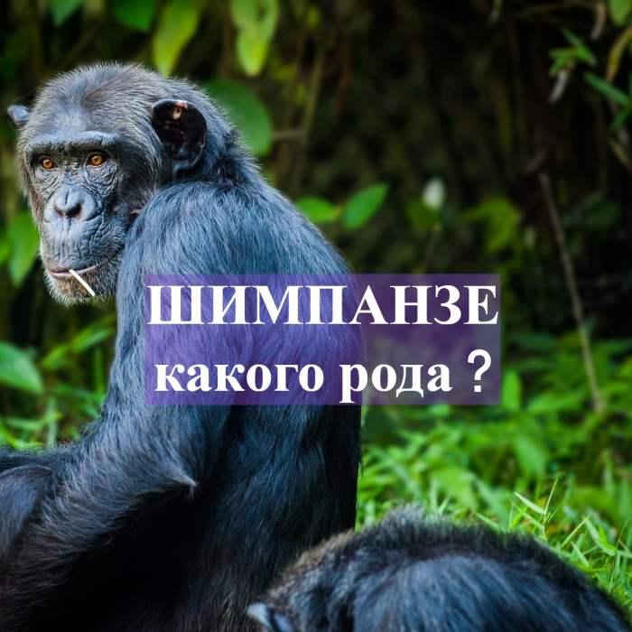 Шимпанзе род существительного