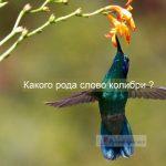 Какого рода существительное колибри