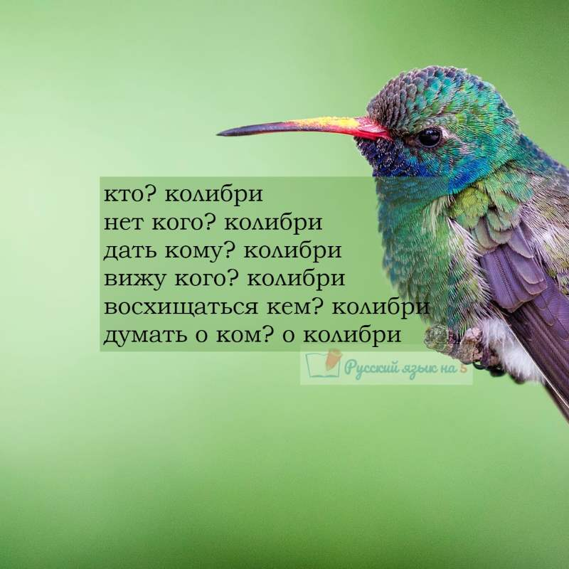 Склонение слова колибри по падежам
