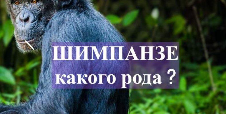 Шимпанзе род существительного мужской или женский